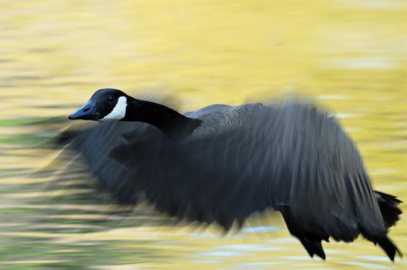 goose-blast-off